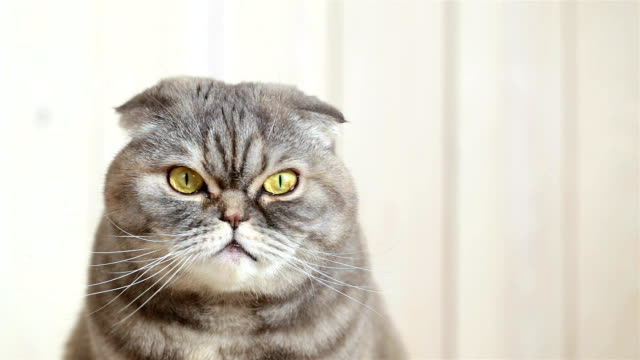 portrait of a scottish fold cat. - birichinata video stock e b–roll