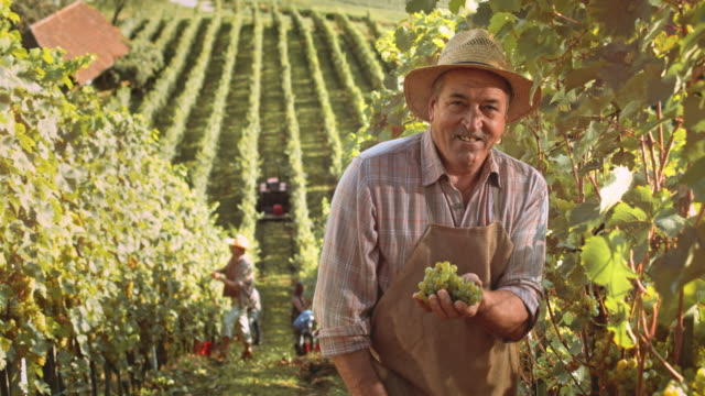 ds portrait of a senior winegrower in vineyard at harvest - azienda vinivola video stock e b–roll