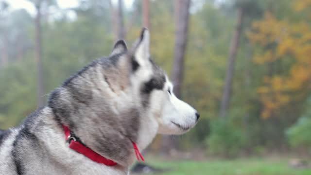 ritratto di husky siberiano. - cane husky video stock e b–roll