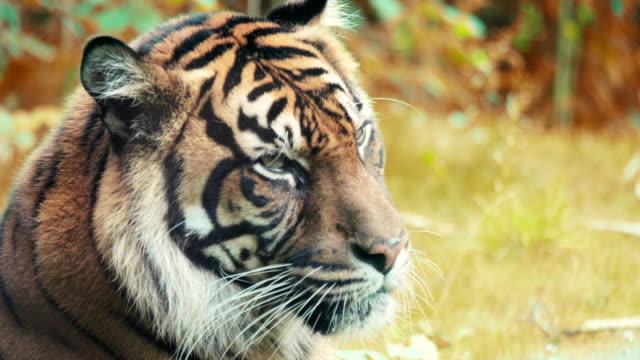 Portrait of a Siberian Tiger. video