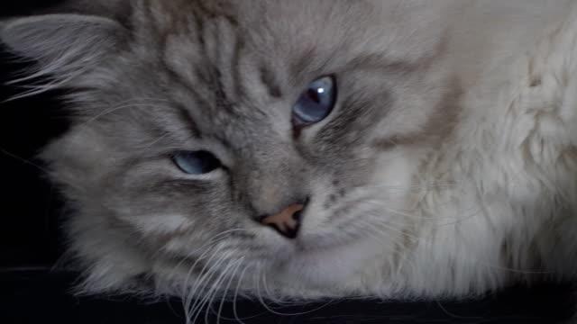 スマート、ふわふわ、色ポイント シベリア猫の肖像画 - ふわふわ点の映像素材/bロール