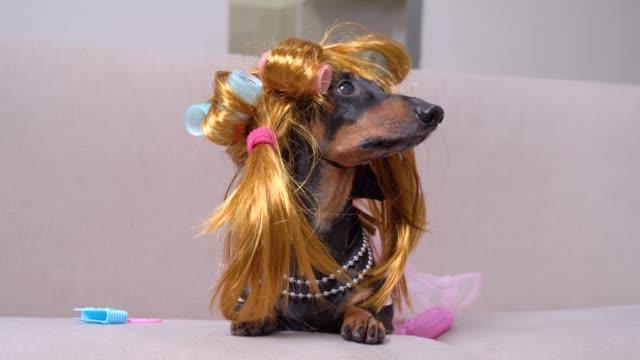 şık bir dachshund köpek portresi, bir zencefil peruk, pembe curlers, şık bir kolye, evde bir kanepede yatıyor, havlar ve etrafa bakar - peruk stok videoları ve detay görüntü çekimi