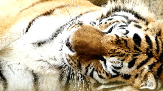 4K Portrait of a Tiger video