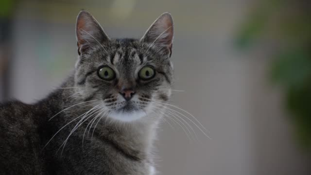 Portrait of a watching cat Portrait of a watching cat anticipation stock videos & royalty-free footage