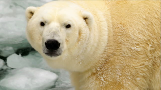 Portrait of a white bear in a zoo in the winter Portrait of a white bear in a zoo in the winter, Novosibirsk, Russia bear stock videos & royalty-free footage