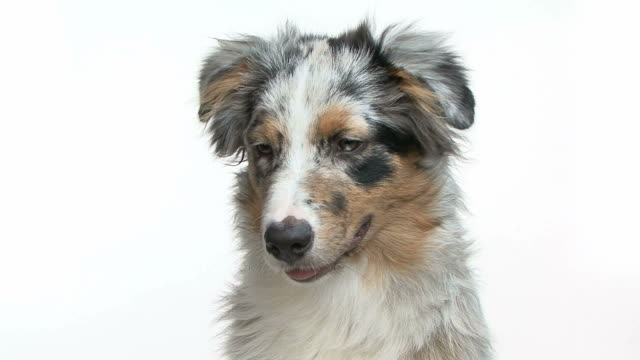 Portrait of a young australian shepherd barking Portrait if a young australian shepherd barking at the camera in front of a white background plant bark stock videos & royalty-free footage