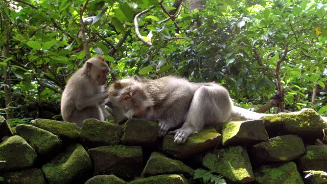 close up: portrait of a young monkey grooming adult one in monkey forest ubud - уход за поверхностью тела у животных стоковые видео и кадры b-roll