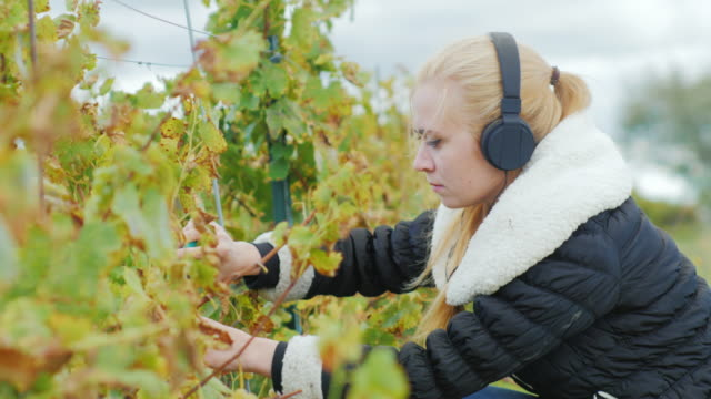 Portrait of a young woman who works in the vineyard and listening to music on headphones. Cuts with scissors bunches of ripe grapes video