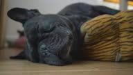 istock Portrait of Adorable Cute Black French bulldog enjoys sleeping look funny. 1289889440