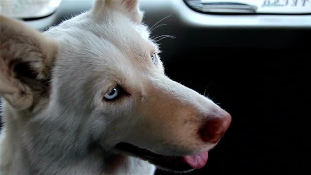 porträt der schönen weißen siberian husky im auto - dog car stock-videos und b-roll-filmmaterial