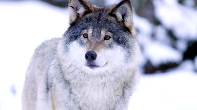 portrait of beautiful wolf in snowy forest - lupo video stock e b–roll