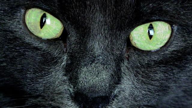 vídeos y material grabado en eventos de stock de retrato de gato negro - peludo
