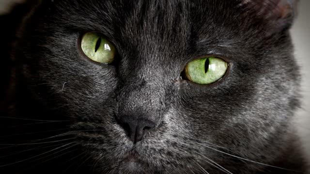 vidéos et rushes de portrait de chat noir - tête d'un animal