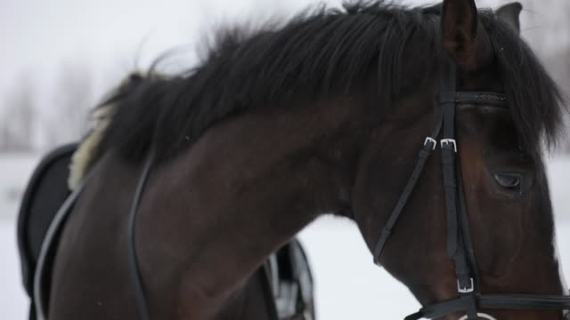 portrait of brown horse in a white snow - briglia video stock e b–roll