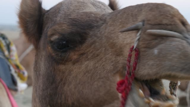 Portrait of Camel video
