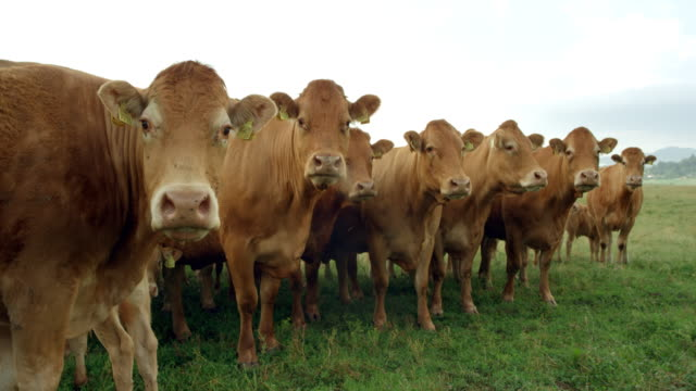 SLO MO Portrait of cattle standing in the pasture