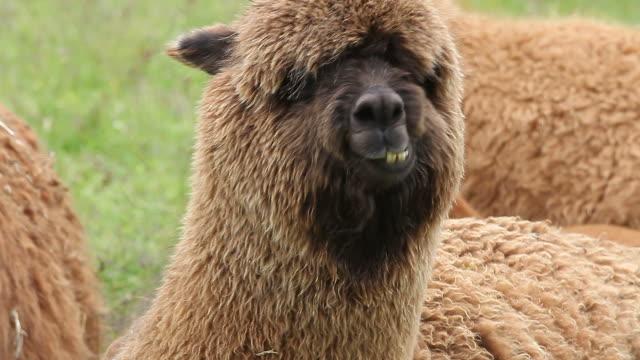 stockvideo's en b-roll-footage met portret van het kauwen van alpaca met de ogen overwoekerd door wol - teenager animal