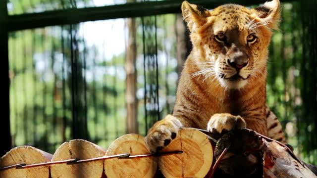 portrait of cute baby liger resting - kafes sınırlı alan stok videoları ve detay görüntü çekimi