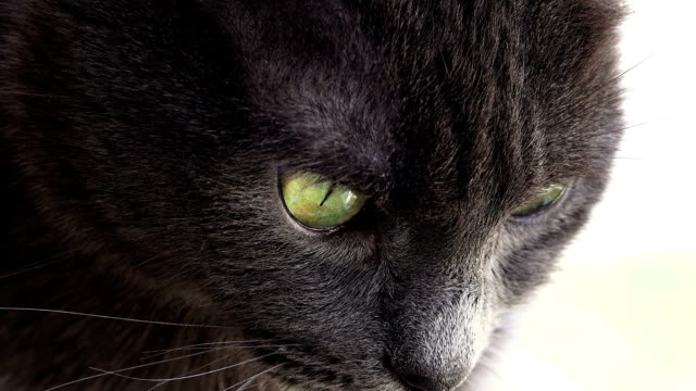 vidéos et rushes de portrait de joli chat gris - tête d'un animal