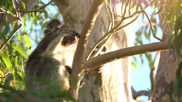 Portrait of Cute Lazy Koala staring at the camera from a gum tree. Australia. Portrait of Cute Lazy Koala staring at the camera from a gum tree. Australia. fur stock videos & royalty-free footage