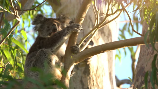 Portrait of Cute Lazy Koala staring at the camera from a gum tree. Australia.