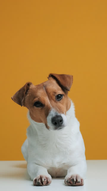 portrait of dog breed jack russell terrier sitting on white surface dog blogger looks at camera yellow background. pet. vertical screen orientation 9:16. vertical video for stories and social network - terrier video stock e b–roll