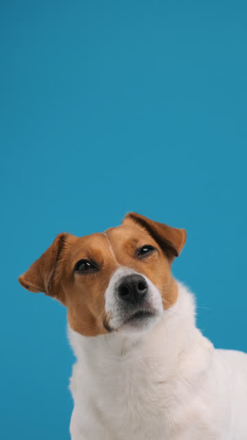 portrait of dog breed jack russell terrier turns his head and looks up at place advertisement copy space, sitting. dog blogger looks at camera on blue background. pets. vertical video for stories - kolor tła filmów i materiałów b-roll