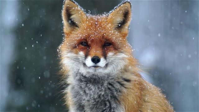 Retrato de fox - vídeo