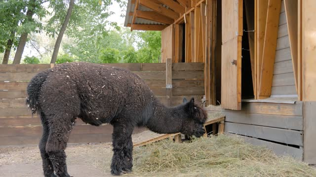 Portrait of funny cute black alpaca eating hay at farm - slow motion