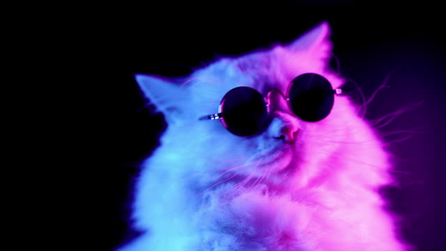 Portrait of highland straight fluffy cat with long hair and round glasses in neon light. Fashion, style, cool animal concept. Studio footage. White pussycat on dark background.