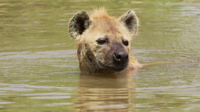 CU portrait of Hyena cooling off in the water. A fly buzzes around his head annoying him a little but he is enjoying the water too much to care. African Safari