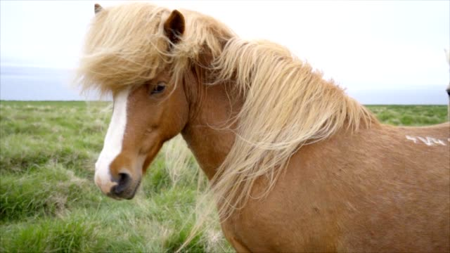 Portrait of Icelandic horse in meadow, Springtime SLOW MOTION