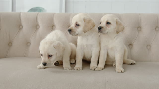 Portrait of labrador puppies sitting on a beige sofa video