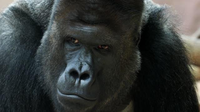 Portrait of male Gorilla, Silver backed Male Gorilla. The gorilla looks into the camera.