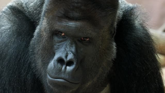 Portrait of male Gorilla, Silver backed Male Gorilla. The gorilla looks into the camera. video