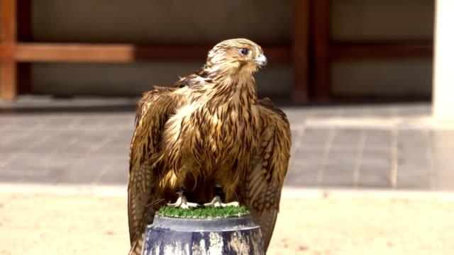 vidéos et rushes de portrait de faucon sur le perchoir à falcon souq marché, doha, qatar. - doha