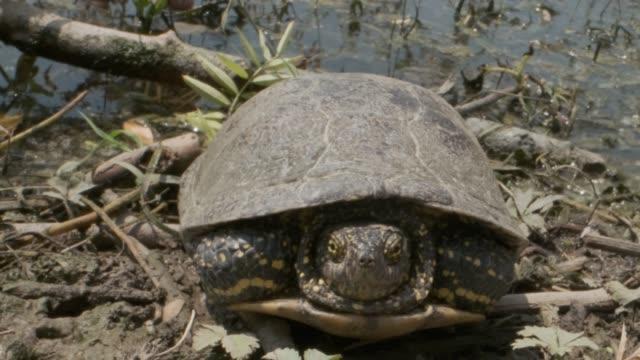 Portrait of pond turtle on the grass. European pond turtle, European pond terrapin or European pond tortoise (Emys orbicularis)