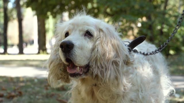 Portrait of serious older dog English Spaniel, Close up