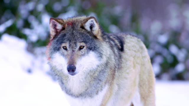 Portrait of slightly injured wolf looking for dangers video