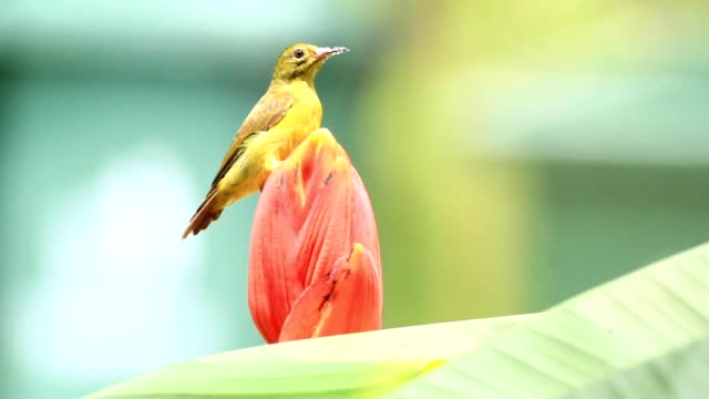 Portrait of Sunbird,bird feeding of nectar from banana flower