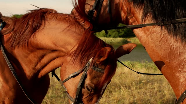 Portrait of two horses in summer near a lake, CU. video