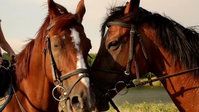 portrait of two horses in summer near the lake. - grzywa filmów i materiałów b-roll