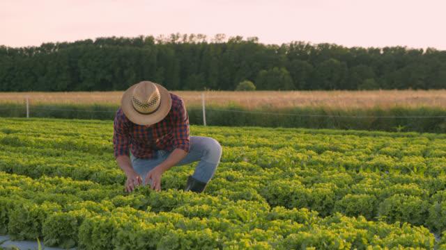 ds portrait of vegetable grower posing on a field of lettuce - lattuga video stock e b–roll