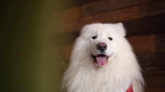 vídeos de stock e filmes b-roll de portrait of white dog of the breed samoyed, sitting quietly against wooden wall. - samoiedo