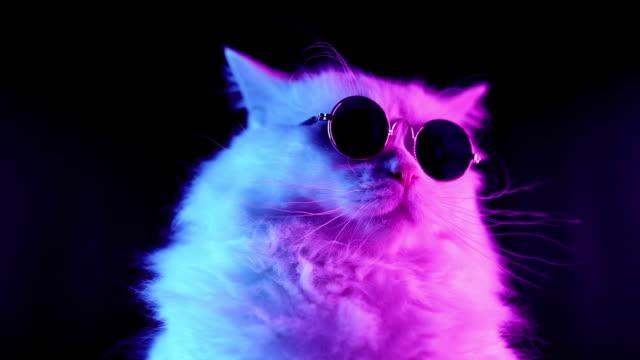 porträtt av vit lurviga katt i mode glasögon. studio neonljus film. lyxig inhemsk kitty i glas poserar på svart bakgrund. - solglasögon bildbanksvideor och videomaterial från bakom kulisserna