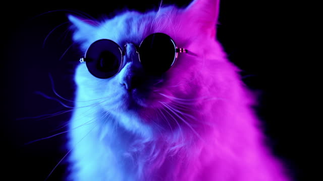 Portrait of white furry cat in fashion eyeglasses. Studio neon light footage. Luxurious domestic kitty in glasses poses on black background.