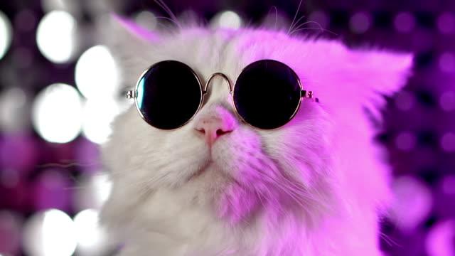 moda gözlük beyaz kürklü kedi portresi. stüdyo neon ışık görüntüleri. gözlük lüks yerli kedicik mor arka plan üzerinde pozlar - gece kulübü stok videoları ve detay görüntü çekimi