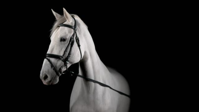 vidéos et rushes de slo mo portrait de cheval blanc tournant la tête à droite - dressage équestre
