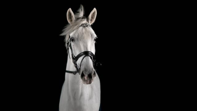 SLO MO Portrait of white horse