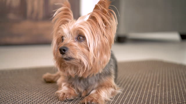 4K portrait of Yorkshire terrier dog Dog sitting on the floor looking around terrier stock videos & royalty-free footage